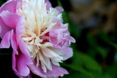 Розовый и белый цветок с зеленой предпосылкой Стоковые Фотографии RF
