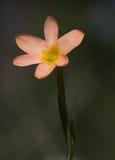 Розовый и желтый полевой цветок Стоковое Изображение