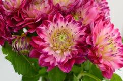 Розовый и желтый цветок георгина на белой предпосылке стоковые изображения