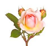 Розовый и желтый цветок изолированной розы Стоковые Фотографии RF
