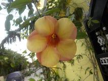 Розовый и желтый цветок цвета завода вишни Allamanda зрелого Стоковое фото RF