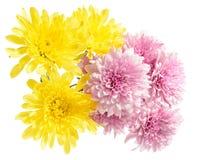 Розовый и желтый георгин стоковая фотография rf