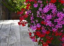 Розовый и красный гераниум цветет в саде лета на старой предпосылке деревянного стола цветки пеларгонии Плющ-лист стоковое изображение