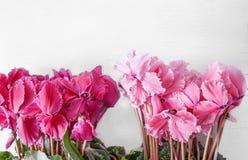 Розовый и красный cyclamen на светлой предпосылке стоковое фото rf