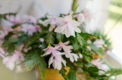 Розовый кактус рождества Стоковое фото RF