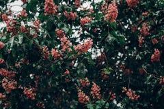 Розовый каштан цветет на ветвях зеленого цвета зацветая дерева в парке Стоковые Фото