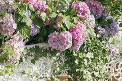 Розовый конец-вверх в белых openwork вазах, селективный фокус гортензии Естественное macrophylla гортензии, hortensia романтично Стоковые Изображения RF