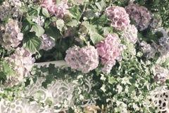 Розовый конец-вверх в белых openwork вазах, селективный фокус гортензии Естественное macrophylla гортензии, hortensia красивейше Стоковые Фотографии RF