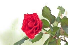 Розовый конец-вверх Красная роза красивая роза стоковое изображение rf