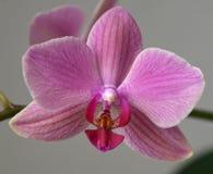 Розовый конец-вверх орхидеи Phaleonopsis Стоковая Фотография RF