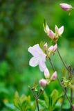 Розовый конец-вверх рододендрона стоковое изображение