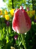 Розовый конец-вверх тюльпана на предпосылке flowerbeds желтых тюльпанов стоковая фотография