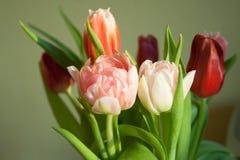 Розовый конец-вверх тюльпана Стоковые Изображения RF