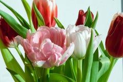 Розовый конец-вверх тюльпана Стоковая Фотография