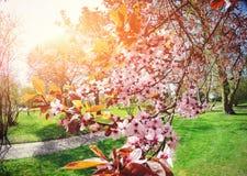Розовый конец-вверх цветка вишни миндалин Время весны цветет backgro Стоковое Изображение RF