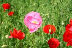 Розовый конец-вверх цветка мака Стоковые Фотографии RF