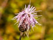 Розовый конец головы цветка thistle молока вверх по marianum Silybum Стоковые Фото