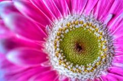 Розовый конец маргаритки вверх по макросу Стоковые Изображения RF