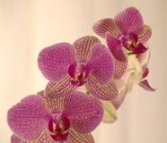 Розовый конец орхидеи вверх с белым занавесом стоковая фотография
