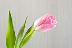 Розовый конец тюльпана вверх стоковые изображения rf