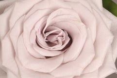 Розовый конец цветка вверх Стоковое Изображение RF