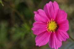 Розовый конец цветка космоса вверх Стоковая Фотография