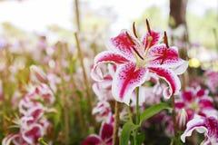 Розовый конец цветка лилий вверх Стоковые Изображения RF