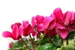 Розовый конец цветка cyclamen вверх в белизне Стоковое Изображение RF