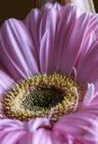 Розовый конец цветка gerber вверх по взгляду Стоковые Изображения RF