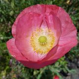 Розовый конец wildflower вверх Стоковое Фото