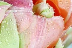 Розовый конспект тюльпана Angelique стоковая фотография