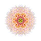Розовый концентрический изолированный цветок мандалы хризантемы Стоковое фото RF