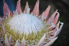 Розовый король Protea Стоковые Изображения RF