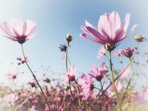 Розовый космос в саде стоковое фото