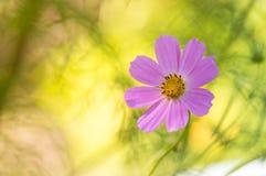 Розовый космос цветка на красивой солнечной предпосылке Стоковые Изображения RF