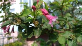 Розовый колокол цветка на зеленом кусте стоковое изображение rf