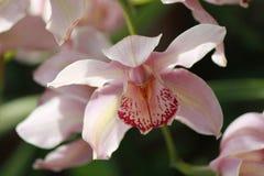 Розовый колокол цветка Стоковое Изображение