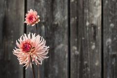 Розовый красный цветок с деревянной предпосылкой загородки Стоковое Изображение