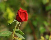 Розовый красный цвет бутона Стоковые Изображения RF