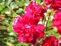 Розовый КРАСНЫЙ ЦВЕТ стоковые изображения rf