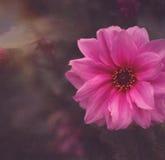 Розовый крокус Стоковые Фотографии RF