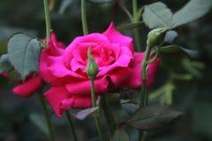 Розовый крупный план стоковое фото