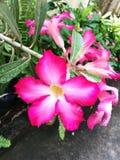 Розовый крупный план лилии импалы стоковое изображение rf