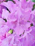 Розовый крупный план цветка рододендрона стоковые фотографии rf