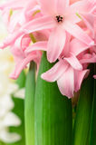 Розовый крупный план гиацинта Стоковая Фотография