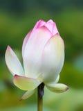 Розовый крупный план цветка nucifera nelumbo, также известный как священный или индийский лотос Стоковое Изображение