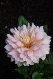 Розовый крупный план цветка tagetes Стоковые Изображения