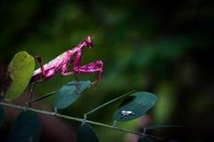 Розовый кузнечик Стоковые Изображения