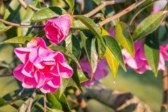 Розовый кустарник камелии с цветками и бутонами Стоковые Изображения