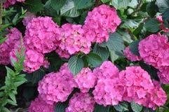 Розовый куст в саде, гортензия Hortensia стоковая фотография rf